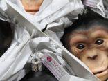 Unboxing-Schimpanse