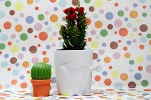 Mugtail-Cactus